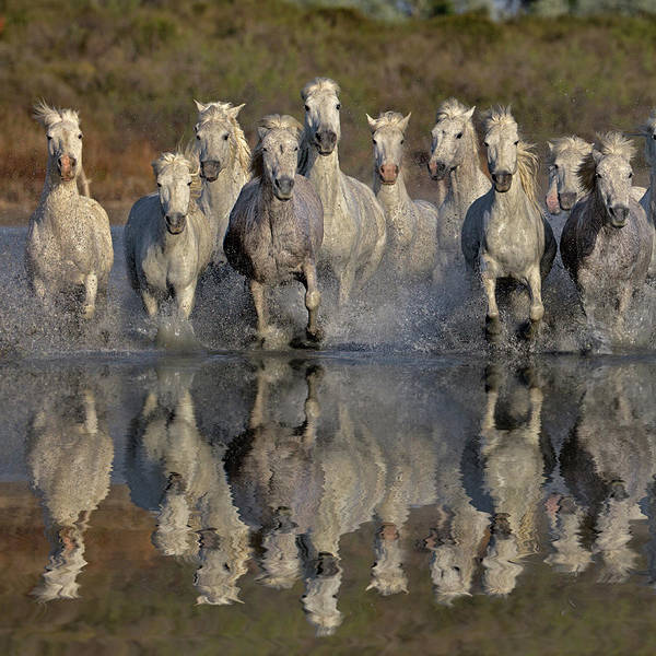 Rhone River Photograph - Camargue Horses Running Thru Marsh by Adam Jones