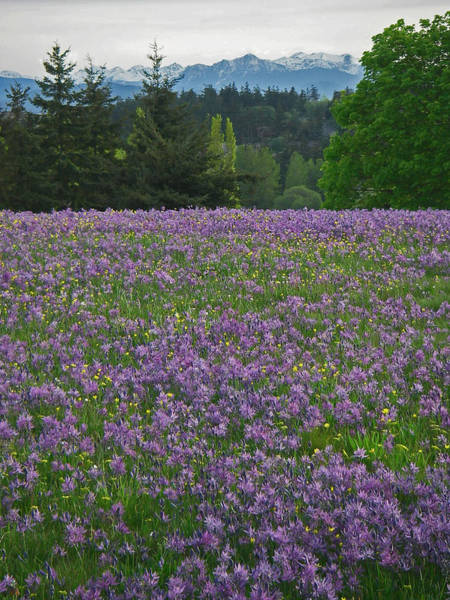Port Townsend Photograph - Camas Prairie by Laurie Stewart
