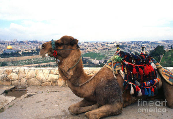 Jewish Homeland Photograph - Camel And Jerusalem From Mount Olive by Thomas R Fletcher
