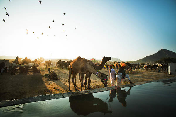 Dromedary Photograph - Camel Drinking Water From A Trough by Exotica.im