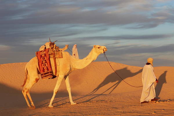 Tunisia Wall Art - Photograph - Camel Driver In The Sahara, Douz by Godong / Robertharding