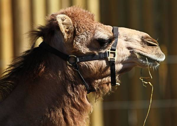 Photograph - Camel Eating by Dan Sproul