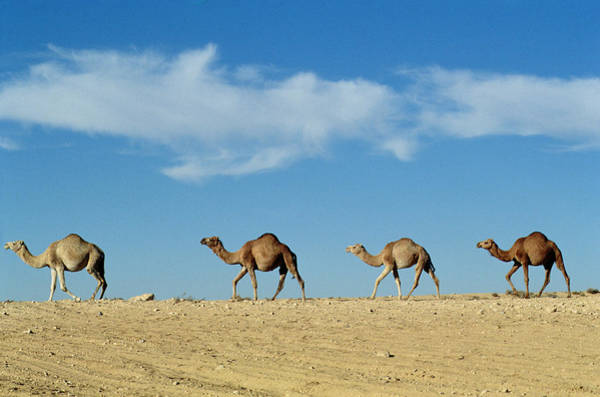 Deserts Photograph - Camel Train by Anonymous