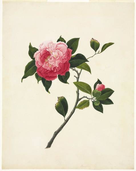 Camelia Photograph - Camelia Flower, 19th-century Artwork by Science Photo Library