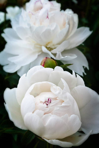 Photograph - Camelia by George Taylor