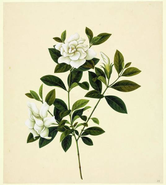 Wall Art - Photograph - Camelia by Natural History Museum, London