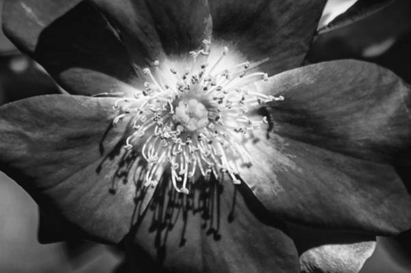 Photograph - Camellia Bw by Carolyn Marshall