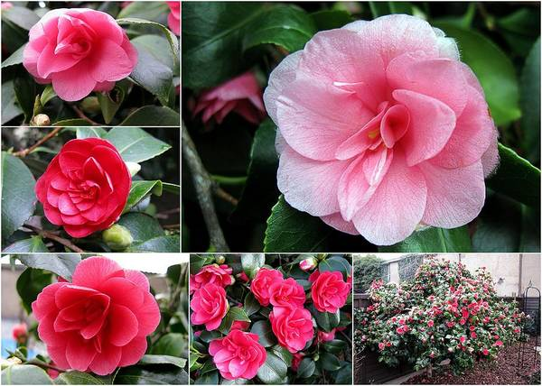 Photograph - Camellia Collage by Helene U Taylor