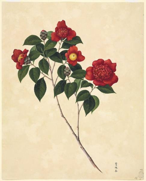 Camelia Photograph - Camellia Cultivar, 19th-century Artwork by Science Photo Library