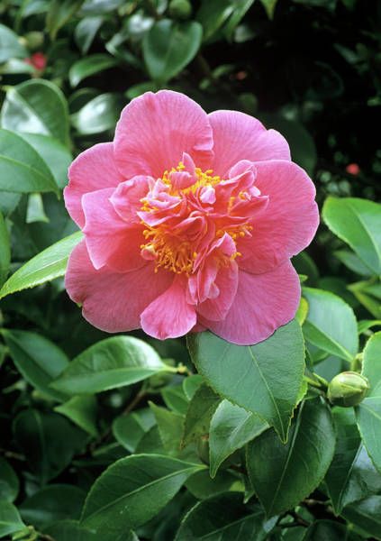Japonica Photograph - Camellia Flower (camellia Japonica) by Geoff Kidd/science Photo Library