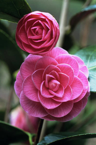 Camellia Flowers Art Print by Adrian Thomas/science Photo Library