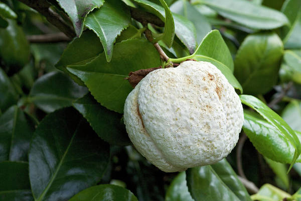 Horticulture Photograph - Camellia Gall by Geoff Kidd/science Photo Library