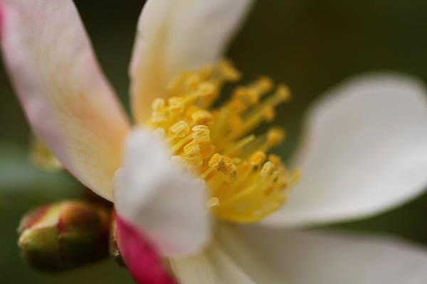 Photograph - Camellia by Jacqui Collett