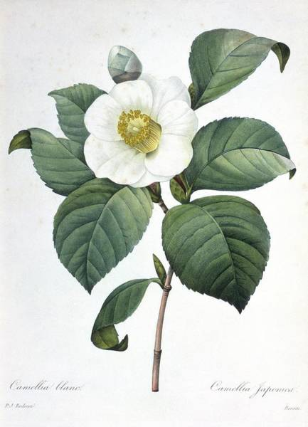 Hand Painted Photograph - Camellia Japonica Flower by Natural History Museum, London/science Photo Library