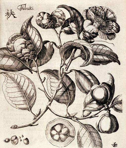 Dicotyledons Photograph - Camellia Japonica Flowers by Natural History Museum, London