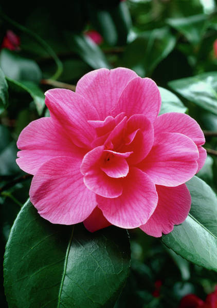 Japonica Photograph - Camellia Japonica Gloire De Nantes. by Tony Wood/science Photo Library