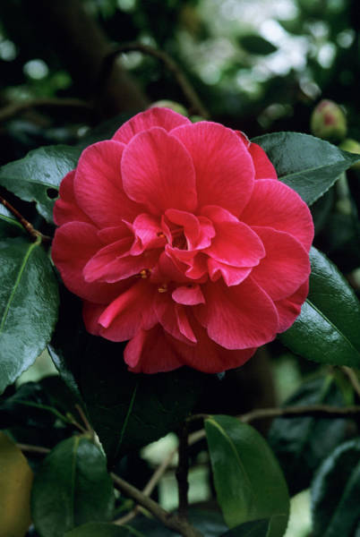 Japonica Photograph - Camellia 'mercury' Flower by Tony Wood/science Photo Library
