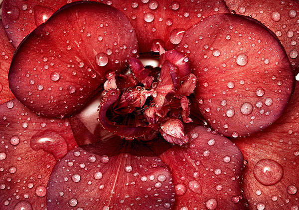 Photograph - Camellia by Russell Brown