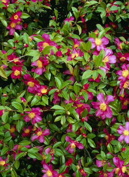 Horticulture Photograph - Camellia Sasanqua 'rubra' by Geoff Kidd/science Photo Library