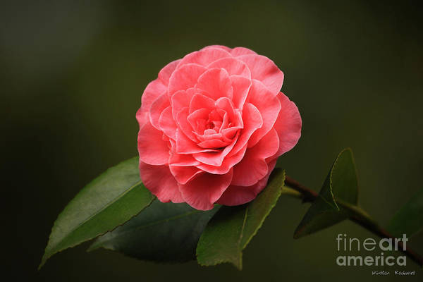 Wall Art - Photograph - Camellia by Winston Rockwell