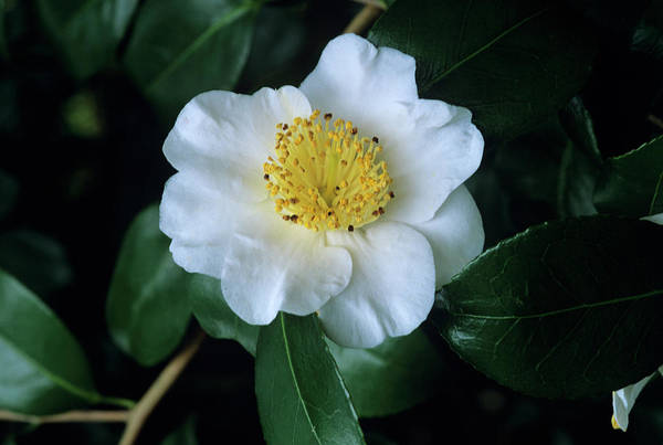 Japonica Photograph - Camellia 'yukimi-guruma' Flower by Tony Wood/science Photo Library