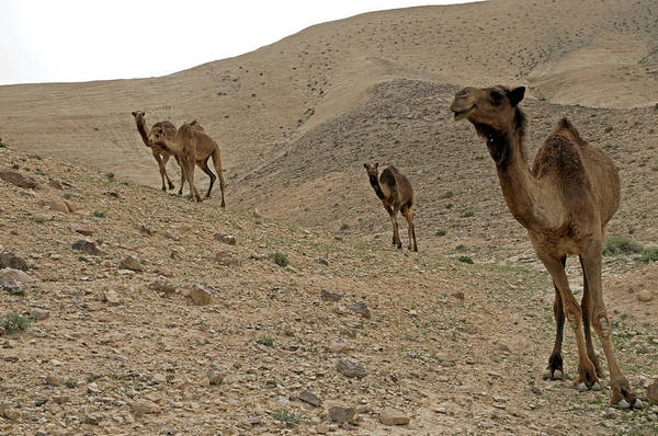 Photograph - Camels At The Israel Desert -2 by Dubi Roman