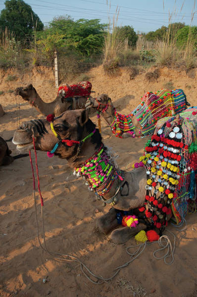 Dromedary Wall Art - Photograph - Camels Before A Ride, Pushkar by Inger Hogstrom