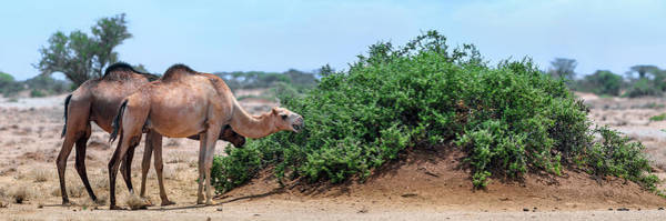 Adapted Photograph - Camels Eating Salt Cedar by Babak Tafreshi