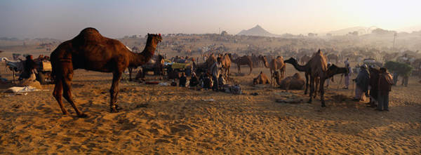 Dromedary Wall Art - Photograph - Camels In A Fair, Pushkar Camel Fair by Panoramic Images