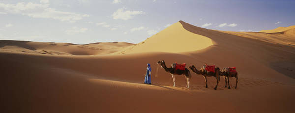 Dromedary Photograph - Camels In Desert Morocco Africa by Animal Images