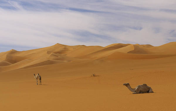 Photograph - Camels by Ivan Slosar