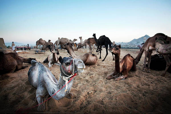 Resting Photograph - Camels Resting In Desert To Be Traded by April Maciborka