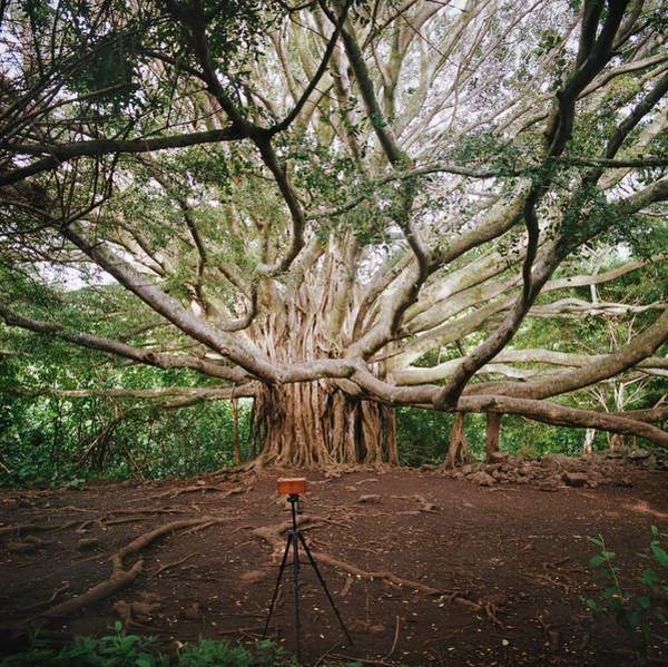 Maui Photograph - Camera Photographing Banyan Tree by Danielle D. Hughson