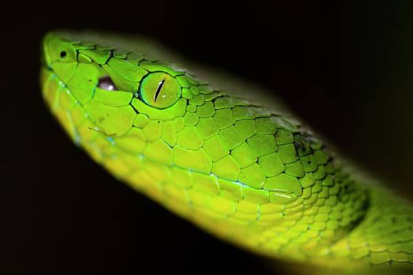 West Highlands Photograph - Cameron Highlands Pit Viper by Scubazoo