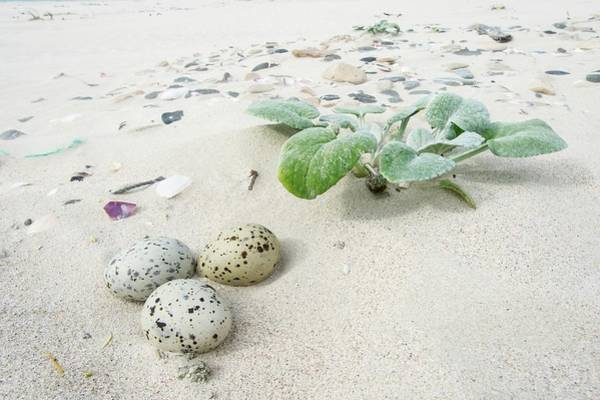Aves Photograph - Camouflaged Caspian Tern Nest by Peter Chadwick