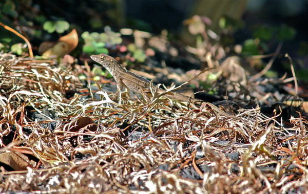 Photograph - Camouflaged Lizard by Cyril Maza