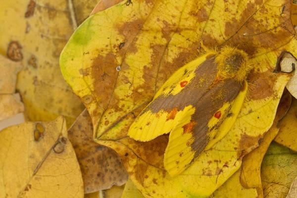 Photograph - Camouflaged Tent Caterpillar Moth by Piotr Naskrecki