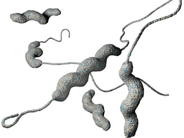 Bacteria Wall Art - Photograph - Campylobacter Jejuni Bacteria by Hipersynteza