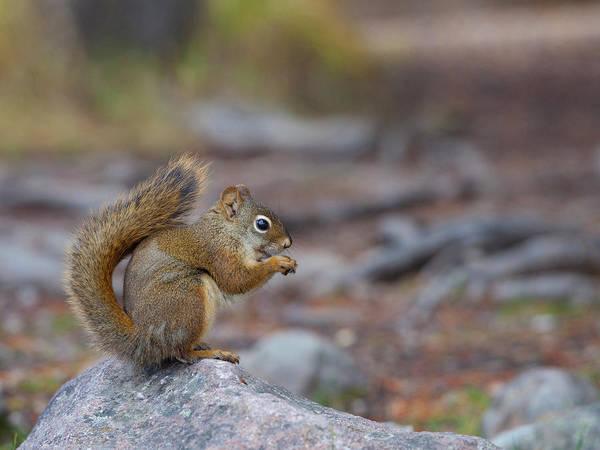 Forage Wall Art - Photograph - Canada, Alberta A Douglas Squirrel by Gary Luhm