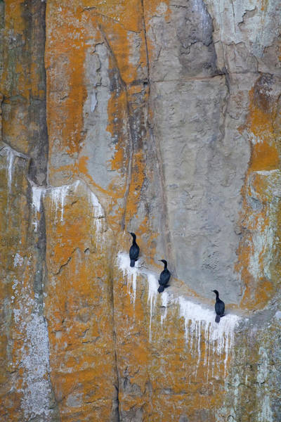 Phalacrocorax Auritus Wall Art - Photograph - Canada, British Columbia, Gabriola by Jaynes Gallery
