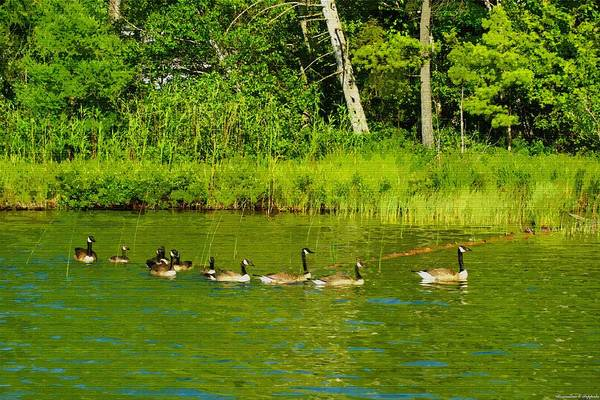 Manistee National Forest Wall Art - Painting - Canada Geese And Goslings Out For A Swim by Rosemarie E Seppala