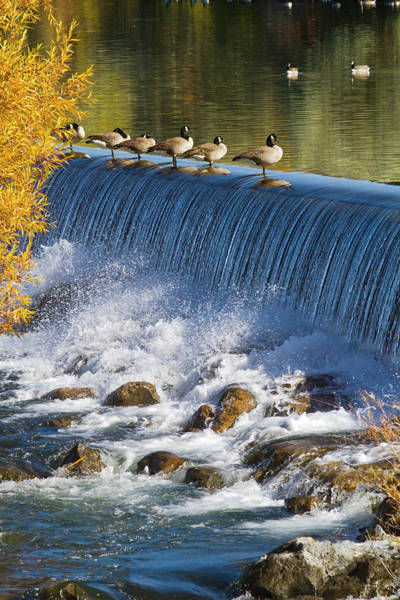 Bird In Tree Photograph - Canada Geese And Hydroelectric Power by Mark Miller Photos