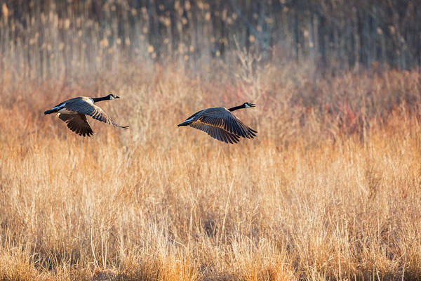 Photograph - Canada Geese by Bill Wakeley