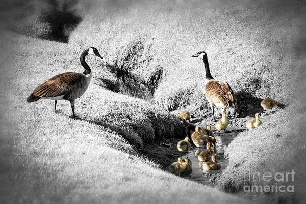 River Walk Photograph - Canada Geese Family by Elena Elisseeva
