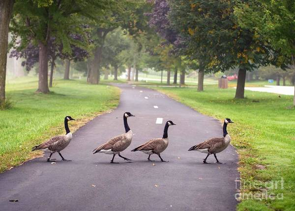 Photograph - Canada Geese Four In A Row by Kari Yearous