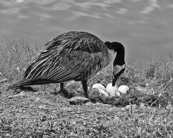 Photograph - Canada Geese Nesting by Bob and Nadine Johnston