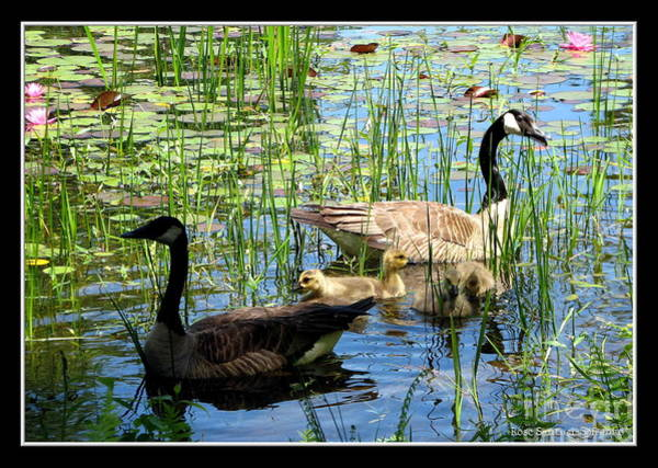 Photograph - Canada Geese On Lily Pond At Reinstein Woods by Rose Santuci-Sofranko
