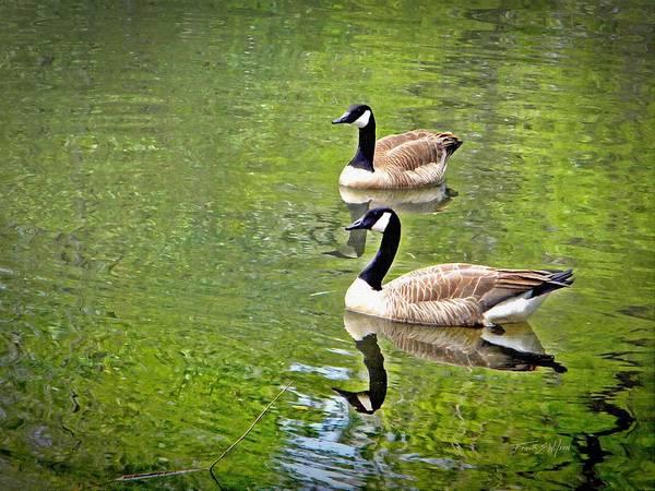 Wildbird Photograph - Canada Geese Pair by Frank Wilson