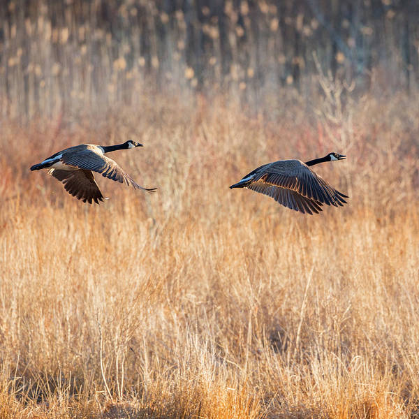 Photograph - Canada Geese Square by Bill Wakeley