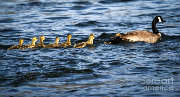 Goslings Wall Art - Photograph - Canada Goose And Goslings by Robert Bales